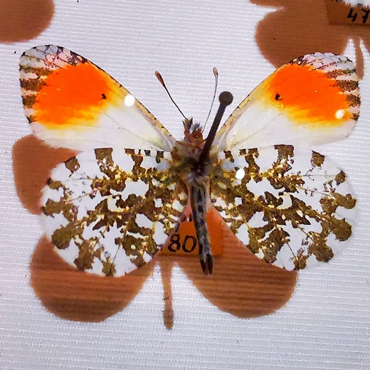 Butterfly is a part of the Varaždin city Entomological museum