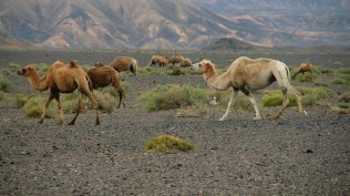 Camels of Taklamakan Desert