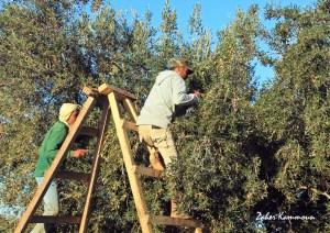 olivier sfax زيتون صفاقس