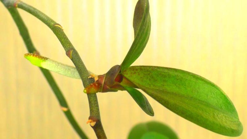 бебе орхидея на цветонос