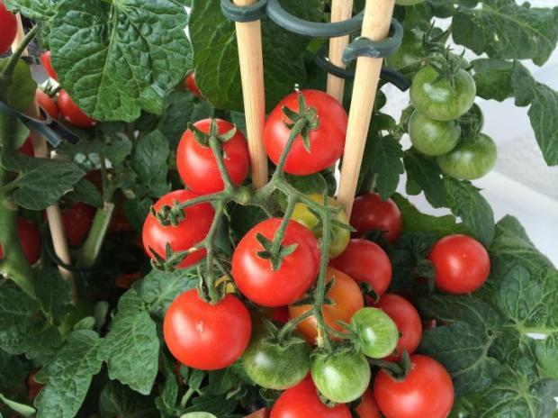 Прикрепяне на домати