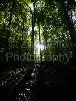 trees, woods, forest, sunlight, silhouette