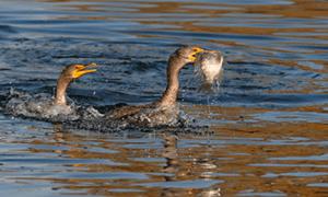 cormorant-300x180