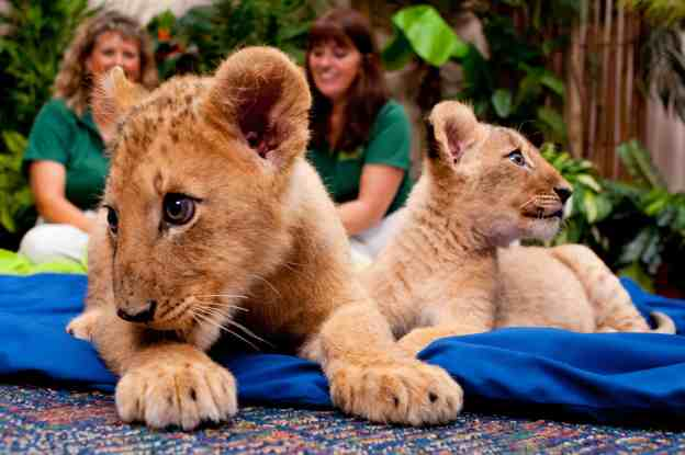 Shaba and Shtuko - Lion Cub Sisters - Busch Gardens Tampa 3