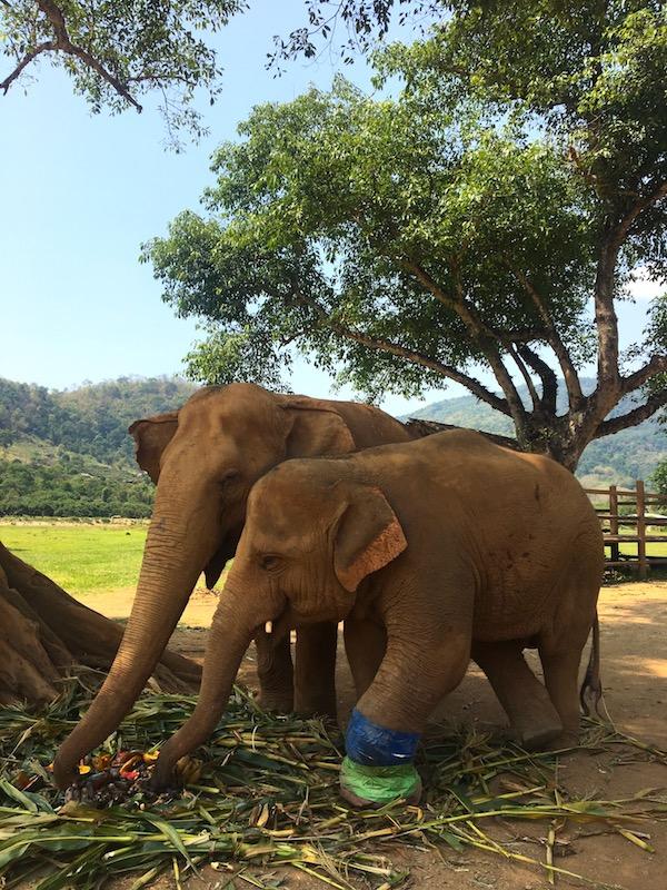 Elefantes vítimas de maus tratos