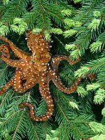 Rare photo of the elusive tree octopus