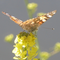 papillon-P1120036.JPG