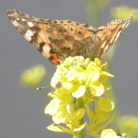 papillon-P1120038.JPG