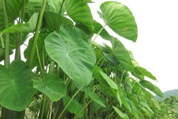 里芋の葉っぱや茎