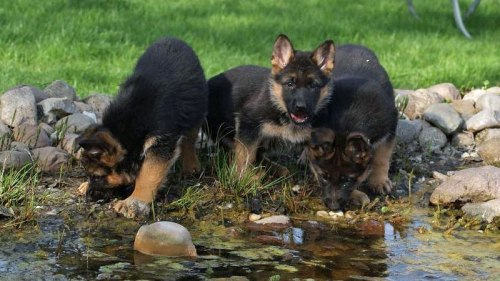 German Shepherd Breeder in Tucson Arizona