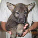 Trained German Shepherd puppy for sale - Rudi Vom Zauberberg