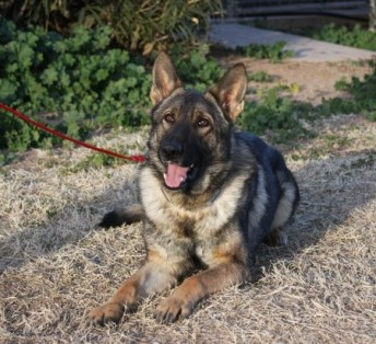 Sable German Shepherd for sale Folrida