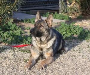 German Shepherd for protection