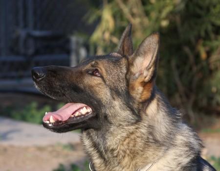 Best Guarantees buying a German Shepherd