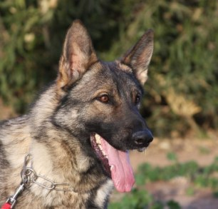 Reviews German Shepherd Breeder