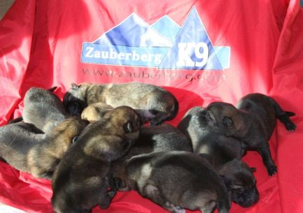 selling German Shepherd Puppies in Phoenix