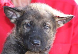 sable German Shepherd puppy for sale