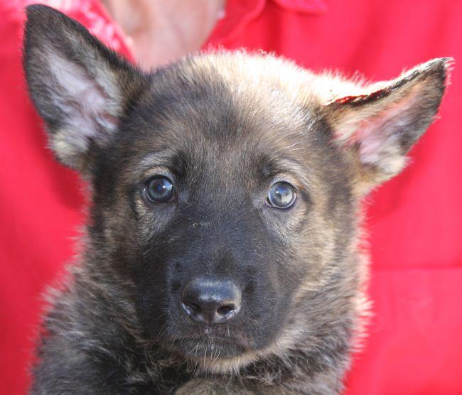 buying the best German Shepherd Puppy