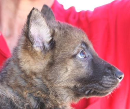 where to buy a German Shepherd puppy