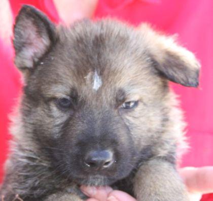 Sable working line German Shepherd puppies