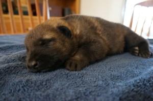German Shepherd puppy AKC