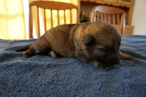 Puppies for sale working lines