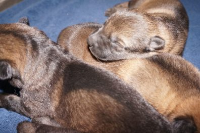 Shepherd Puppies For Sale X Litter vom Zauberberg (21)