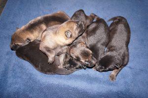 Shepherd Puppies For Sale X Litter vom Zauberberg