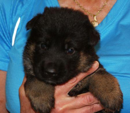 Female puppy bicolored