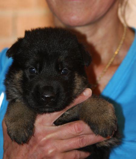 Female puppy bicolored_01