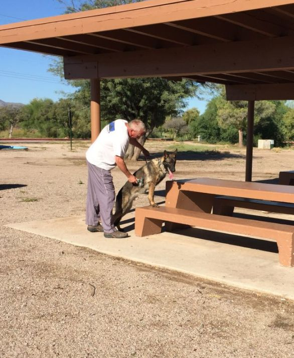 Sigi Protection dog for sale in Phoenix