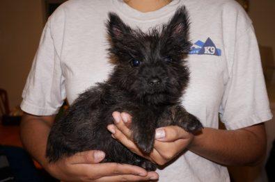 Cairn Terrier in Tucson (1)