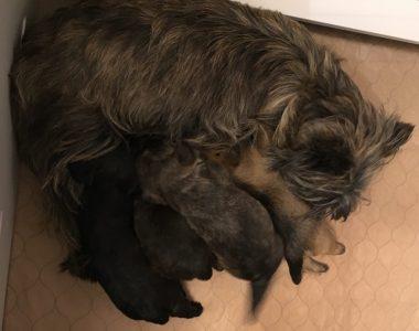 Cairn Terrier Male Tucson AZ (SOLD) - ZAUBERBERG!