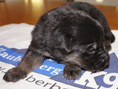Aldo German Shepherd Puppy (6)
