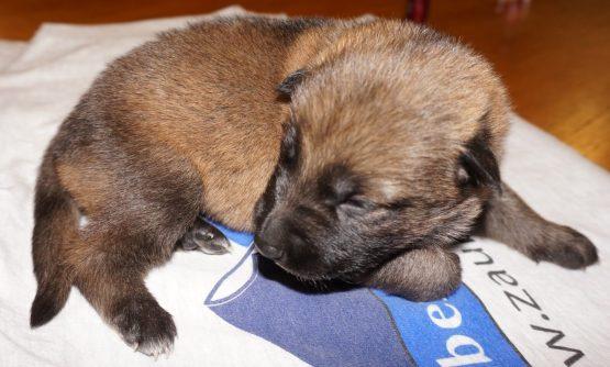 Amara German Shepherd Puppy (8)
