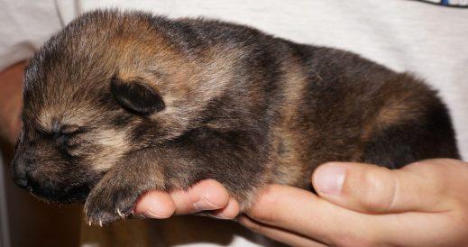 Annora German Shepherd Puppy (1)