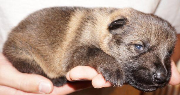 German Shepherd Puppy For Sale Apsel