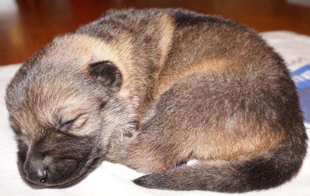 German Shepherd Puppy For Sale Arya