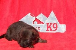 German Shepherd Puppy Colorado