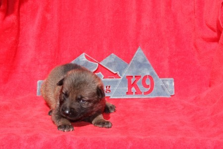 Germna Shepherd puppy for sale NY