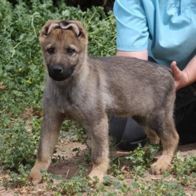 Apsel German Shepherd male puppy for sale