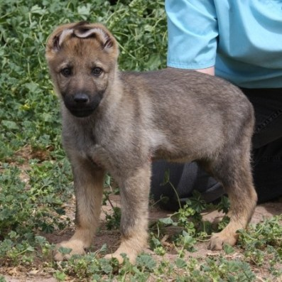 Apsel Puppy from German working lines
