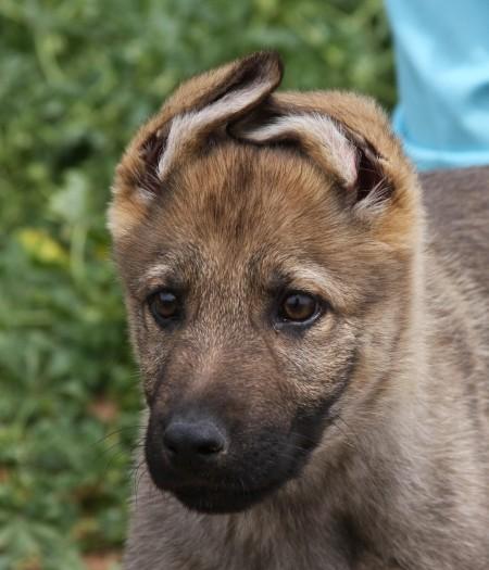 Apsel sable German Shepherd as family companion