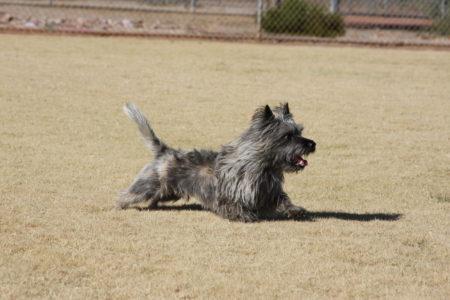 Cairn Terrier in action