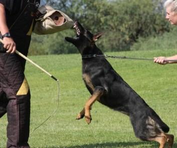 Potection dog training