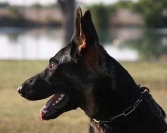 Trained German Shepherd Tucson Arizona