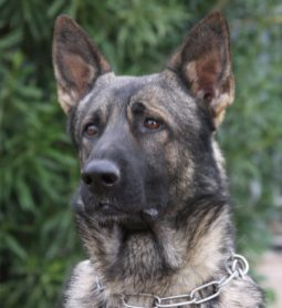 German Shepherd stud service sable with huge head