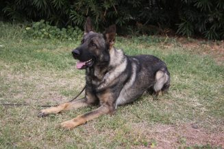 Shepherd stud dogs in Tucson proven producer