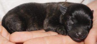 cairn terrier puppy for sale Tucson az.