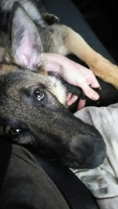 Trained German Shepherd Puppy company driving truck all over the country